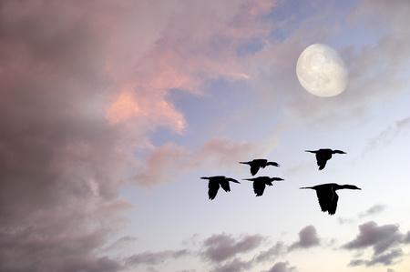 migrating: Birds silhouette is three birds flying during the migrating season. Stock Photo