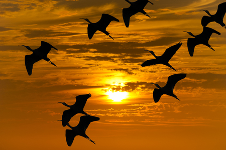 migrating: Bird migration silhouette is a flock of birds flying during the migrating season silhouetted against an orange sunset sky. Stock Photo