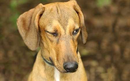 wink: Funny dog winking is a beautiful dog giving us the wink of an eye