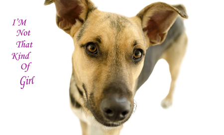 straight up: Curious dog isolated on white is a cute curious German Shepherd looking straight up at you with his alluring magnetic eyes that say it all. Stock Photo