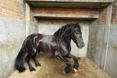 confined: Horse is a powerful majestic stallion jumping in his confined stall.