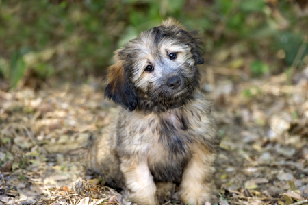 irresistible: Cute dog is an adorable fluffy puppy dog looking at you with those irresistible eyes.