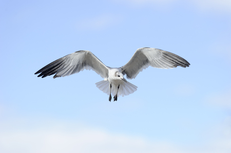 Seagull is a beautiful seagull spreading its wings and soaring against a vibrant blue sky. Stock Photo