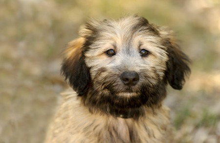 Cute dog is an adorable fluffy puppy dog looking at you with those irresistible eyes.