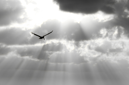 Bird silhouette is a single soul spreading it's wings soaring against an ethereal sun beam sky. Stockfoto