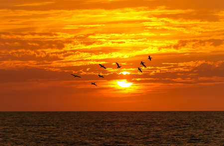 seabirds: Birds silhouettes is a flock of large seabirds flying against a brilliant orange vivid sunset cloudscape sky.