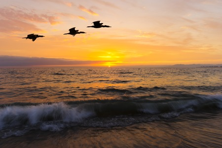 seabirds: Ocean sunset birds is three large seabirds caught in mid flight flying against a vivid and colorful ocean sunset as a gentle wave rolls to shore.