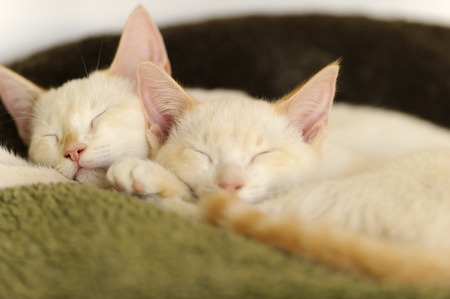 cuddled: Kittens sleeping is two adorable white kitties cuddled up together having their daytime cat nap.