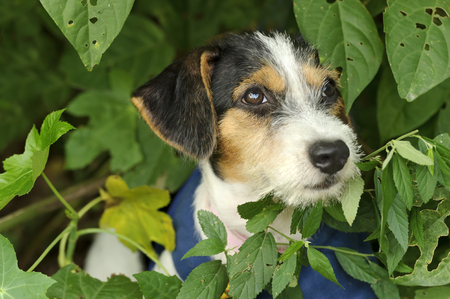 Cute puppy is an adorable little dog out in nature with his face nestled in amongst the leaves. Stock Photo