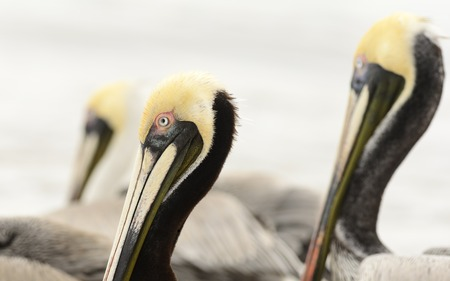 mates: Pelican is a detailed closeup of a pacific coast pelican with two of his flock mates standing to either side of him.