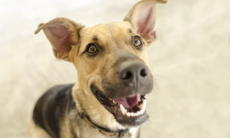 eager: Hapy dog isolated on is a cute funny enthusiastic German Shepherd with a great big happy smile on his face.