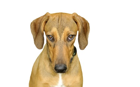 straight up: Dog looking isolated on white is a beautiful dog staring with very intense eyes looking straight up at you.