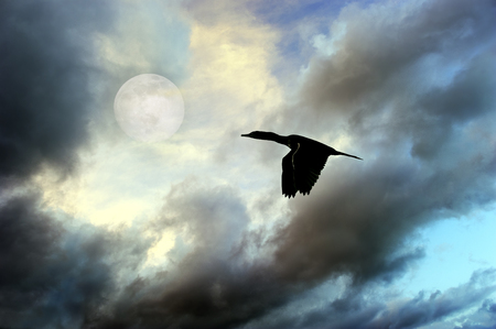 Bird silhouette moon is a large black bird flying amongst the dark clouds as the moon rises in the evening sky.s