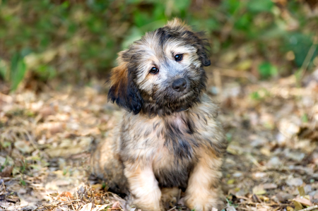 Cute dog is an adorable fluffy puppy dog standing outdoors looking right at you with those irresistible eyes.