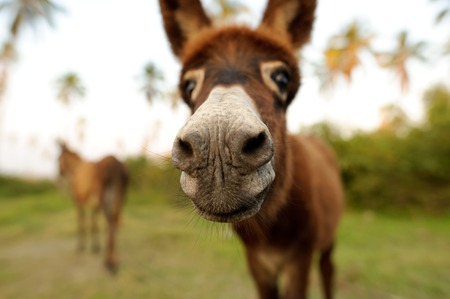 Donkey is a cute funny baby donkey sticking his nose right in your face. Stock Photo
