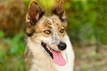 Collie dog is a closeup of a beautiful purebred puppy dog outdoors in nature. Stock Photo