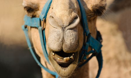 Funny animals camel face is a close up of a camels mouth nose and eyes as he is looking very funny and humorous.