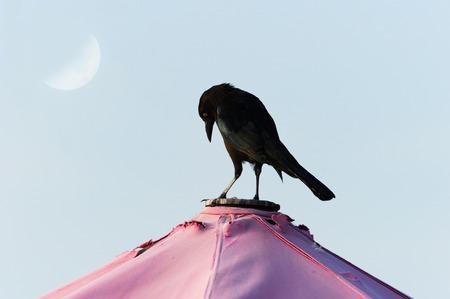 Raven bird black is a black Raven bird sstanding looking contemplative and serious.