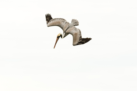 Pelican diving flying is a beautiful feathered pacific coast pelican diving towards the ocean water.