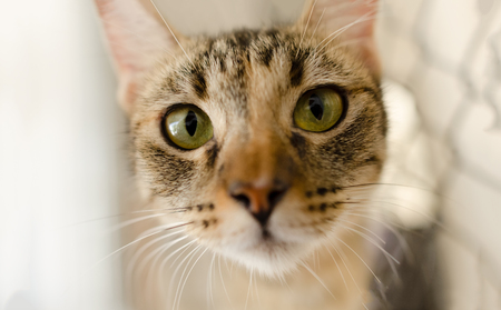 Cat Tabby eyes is a Tabby cat looking right at you with its great big green eyes. Stock Photo