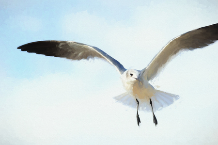 Seagull flying is a good looking pacific coast seagull flying in the blue mid day sky.