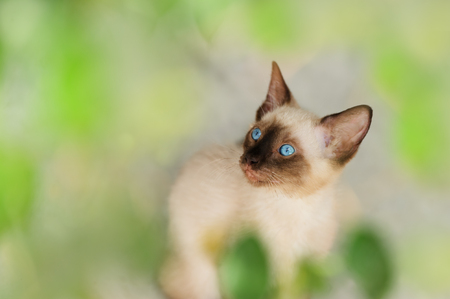 Kitten Siamese cat is a Siamese kitty cat with bright blue eyes. Stock Photo