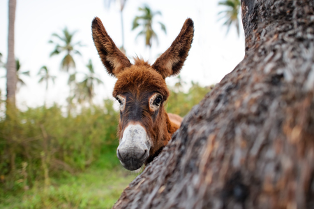 Donkey baby is a cute curious shy baby donkey with great big adorable floppy ears looking right at you.