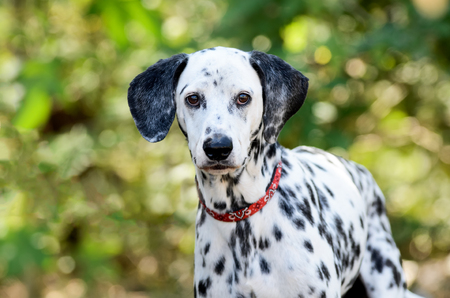 Dalmatian dog is a beautiful Dalmation looking right at you.