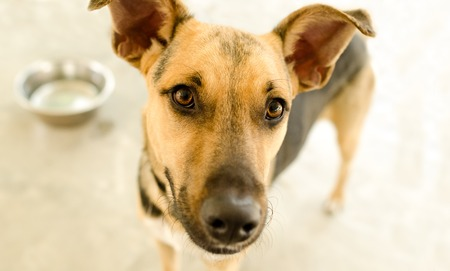Dog bowl is a hungry German Shepherd waiting for someone to food in his bowl. Stock Photo
