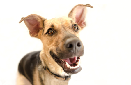 silly face: Happy dog isolated is a very excited happy looking dog with a great big smile on his face. Stock Photo