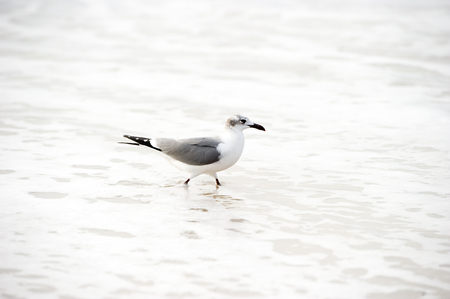 Seagull isolated is a seagull walking gently in the ocean water.