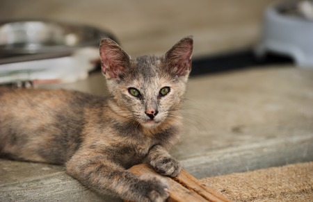 Kitten cat is a cute gray fluffy kitten with beautiful eyes and and very perky ears.