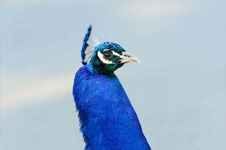Peacock is a peacock closeup isolated  head shot of a beatuful male peacock. Stock Photo
