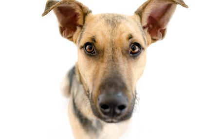 Il cane isolato su bianco è un primo piano di un cane pastore tedesco curioso che sembra curioso fissando proprio a voi. Archivio Fotografico - 88238845