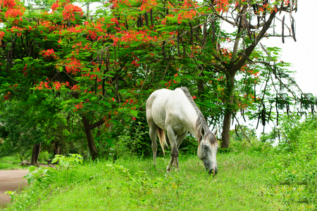 Horse grazing is a white horse in a beautiful nature setting grazing on the grass.