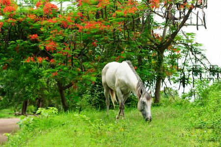 Il cavallo al pascolo è un cavallo bianco in una splendida natura che pascola sull'erba. Archivio Fotografico - 88631970