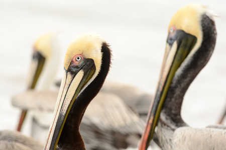 Pelican is a closeup head shot of a pelican in a groups of pelicans on the beach.f