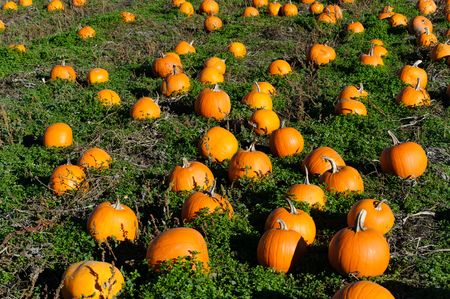 Pumkin patch is a pumkin patch field full of pumkins ready for halloween.