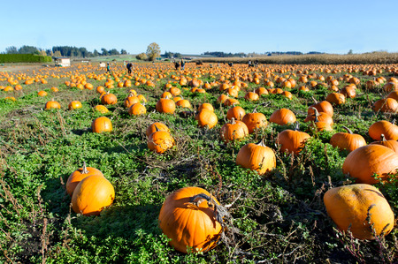 Kürbisflecken ist ein Kürbisfleckenfeld, das von den pumkins voll ist, die zu Halloween bereit sind.