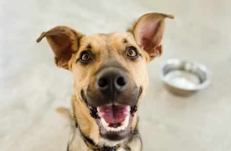 La ciotola del cane è un pastore tedesco affamato che aspetta qualcuno a mangiare nella sua ciotola. Archivio Fotografico - 90081173