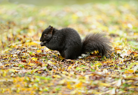 Squirrel black is a cute black squirrel eating in nature. Фото со стока