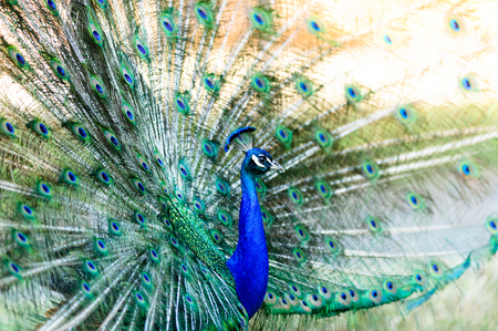 Peacock is a beautiful male spreading its colorful feathers in a mating call to the female bird.