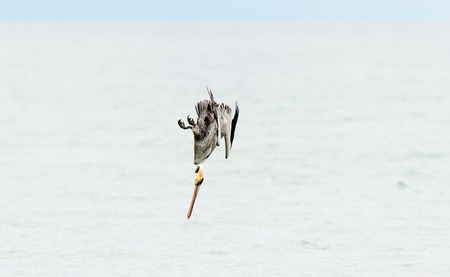 Pelican diving flying is a pelican flying and diving over the ocean with wings spread. Imagens