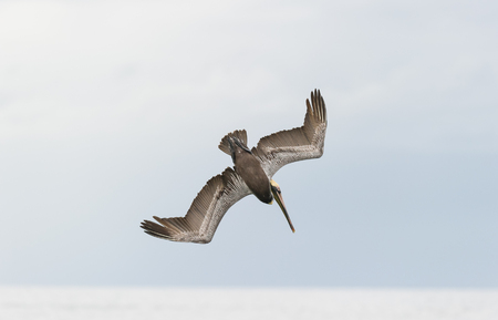 Pelican diving flying is a pelican flying and diving over the ocean with wings spread. Stock Photo