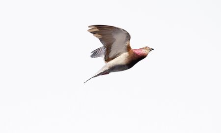 A Pigeon Dove Bird Flying Isolated on White Фото со стока