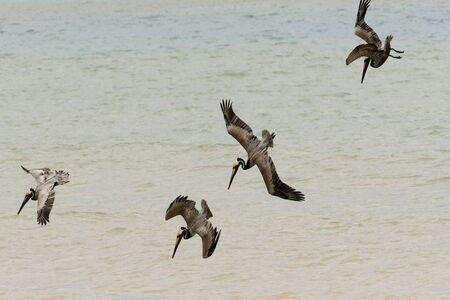 A group of pelicans are diving for their food.