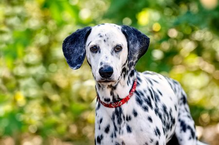 A Dalmatian Purebred is Outside Looking Straight at the Camera