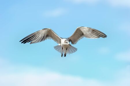 A Seagull is Spreading its Wings in Mid Flight