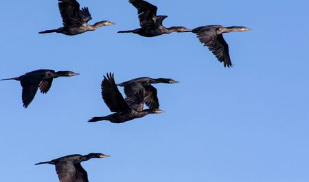 A Flock of Wild Black Tropical Birds are Flying Together in a Blue Daytime Sky