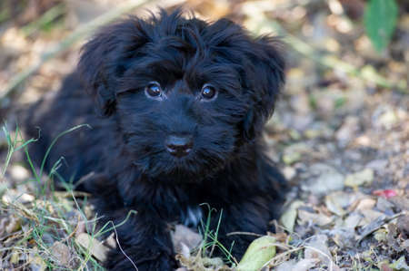 An Adorable Black Fluffy Puppy Dog is Looking Up